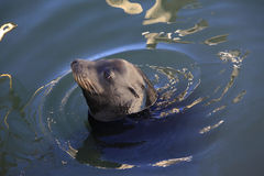 Gray seals water Royalty Free Stock Photo