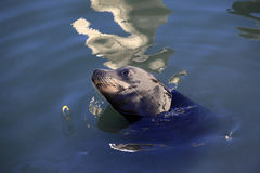 Gray seals water Royalty Free Stock Photos