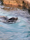 Gray seals water Stock Photo