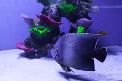 Gray semicircle angelfish Stock Photos