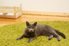 Gray serious, angry cat lies on a green carpet at home. Royalty Free Stock Photo