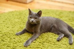 Gray serious, angry cat lies on a green carpet at home. Stock Photo