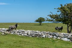 Gray sheep climbing over a stone wall into a green pasture. Beautiful summer view of some gray sheep climbing over a rock wall to a green pasture near the coast stock photography
