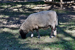 Gray sheep on the grass Royalty Free Stock Photos