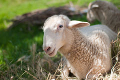 Gray sheep in pasture shade Stock Image
