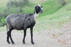 Gray sheep Stock Photo