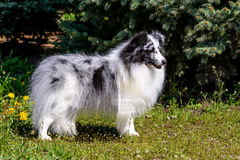 Gray Shetland Sheepdog. Gray Shetland Sheepdog is on the grass Royalty Free Stock Image