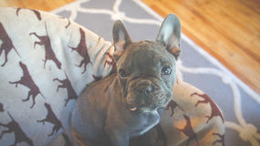 Gray Short Coated French Bulldog Sitting on White and Brown Dog Printed Textile Royalty Free Stock Photography