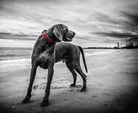 Gray Short Coated Medium Sized Dog Stock Photos