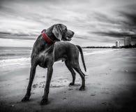 Gray Short Coated Medium Sized Dog Stock Photos