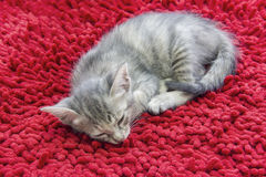 Gray short haired kitten sleeping on red carpet Royalty Free Stock Photo