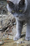 Gray Shorthair Photographie stock libre de droits