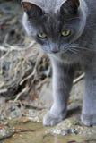 Gray Shorthair Lizenzfreie Stockfotografie