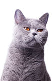 Gray shorthair British cat Stock Photos
