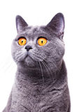 Gray shorthair British cat Stock Images