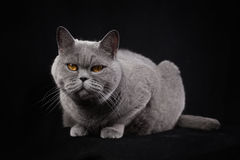 Gray shorthair British cat  on a black background Royalty Free Stock Photo