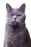 Gray shorthair British cat with bright yellow eyes Royalty Free Stock Images