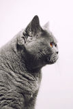 Gray shorthair British cat Royalty Free Stock Photography