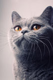 Gray shorthair British cat with bright yellow eyes. Closeup stock photos