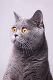 Gray shorthair British cat with bright yellow eyes Stock Photography