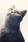 Gray shorthair British cat. Portrait of gray shorthair British cat with bright yellow eyes closeup Stock Photography