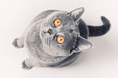 Gray shorthair British cat. Portrait of gray shorthair British cat with bright yellow eyes on a white background Royalty Free Stock Images