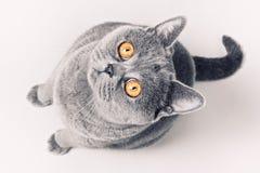 Gray shorthair British cat Royalty Free Stock Images