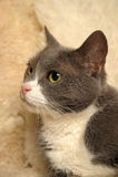 Gray shorthair cat Stock Photo