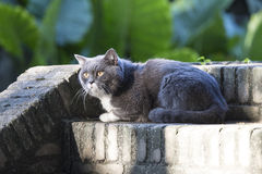 The gray shorthair cat Royalty Free Stock Images
