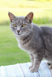 Gray shorthair cat Stock Photography
