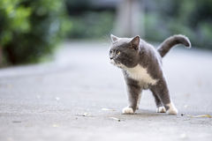 The gray shorthair cat Royalty Free Stock Photos