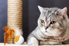 Gray shorthair scottish striped cat, brown scratching post and toy ball with feathers.  stock image