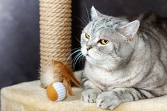 Gray shorthair scottish tabby cat, brown scratching post and toy ball with a feathers.  stock photos