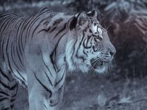 single adult tiger in profile at the zoo in summer walking on the grass in black and white royalty free stock photos
