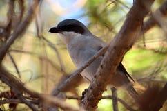 Gray shrike, Lanius meridionalis. Young gray shrike perched on branch amidst the  bush, Lanius meridionalis Stock Photos
