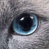 Gray Siamese cat with blue eyes staring on something. Close-up. Cat`s face Royalty Free Stock Photos