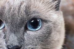 Gray Siamese cat with blue eyes staring on something. Close-up. Cat`s face Stock Photo