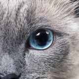 Gray Siamese cat with blue eyes staring on something. Close-up. Cat`s face Stock Photos