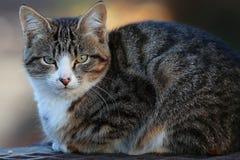 Gray Siberian cat Royalty Free Stock Image