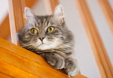 Gray siberian cat control home Stock Photos