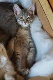 Gray siberian cat lying in basket Royalty Free Stock Photo