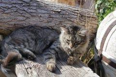 Gray siberian cat lying on wood Stock Photo