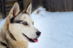 Gray siberian husky female portrait, blue eye, winter Royalty Free Stock Photo