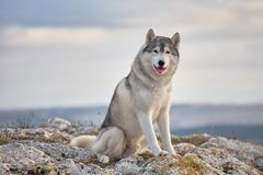 Gray Siberian husky sits on the edge of the rock and looks down. A dog on a natural background. stock photos