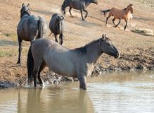 Gray Silver Grulla mare wild horse in the water hole in the Pryor Mountains Wild Horse Range in Montana U Stock Photo