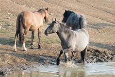 Gray Silver Grulla mare wild horse at the water hole in the Pryor Mountains Wild Horse Range in Montana USA Stock Photography