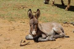Gray small baby donkey sleep on the ground stock photo