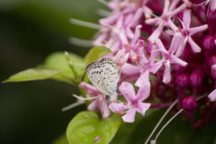 Gray small butterfly sucking nectar from flower. During rainy season Stock Photo