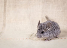 Gray small chinchilla Stock Photos