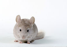 Gray small chinchilla Stock Photography